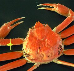 Echizen Crab   Extra Large size: around 1.1kg ¥27,000